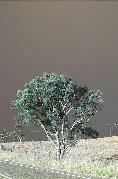 Bushfire_Tree-21Jan03